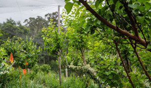 brogo-permaculture-peach-orchard