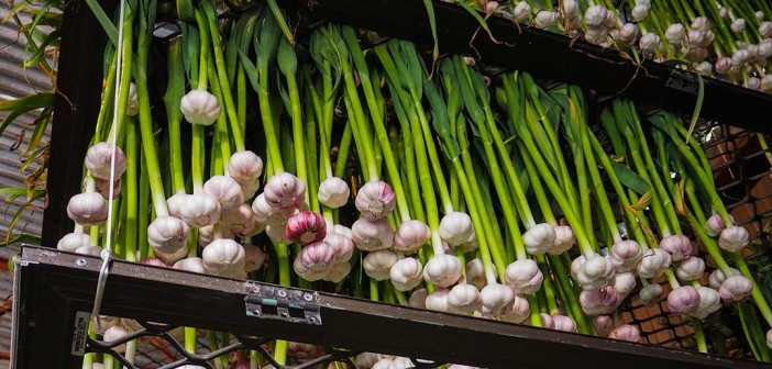 harvesting storing garlic