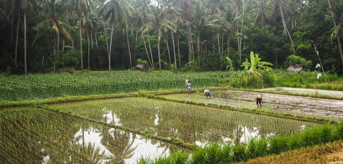 Balinese Subak system of rice irrigation: Social and ecological farming system